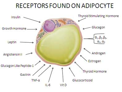 adipocyte-diagram