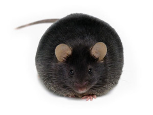 fat-mouse-paleo-study